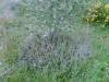 Apfelbeere mit Tripmadam- Unterpflanzung