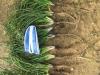 Wiesenbocksbart Ernte