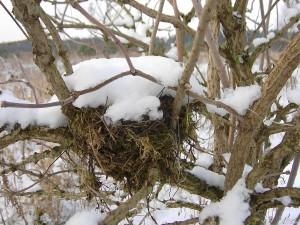 schneebedecktes Vogelnest im  Dezember 2012