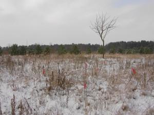 2013-01-26 Kirschausläufer im Schnee