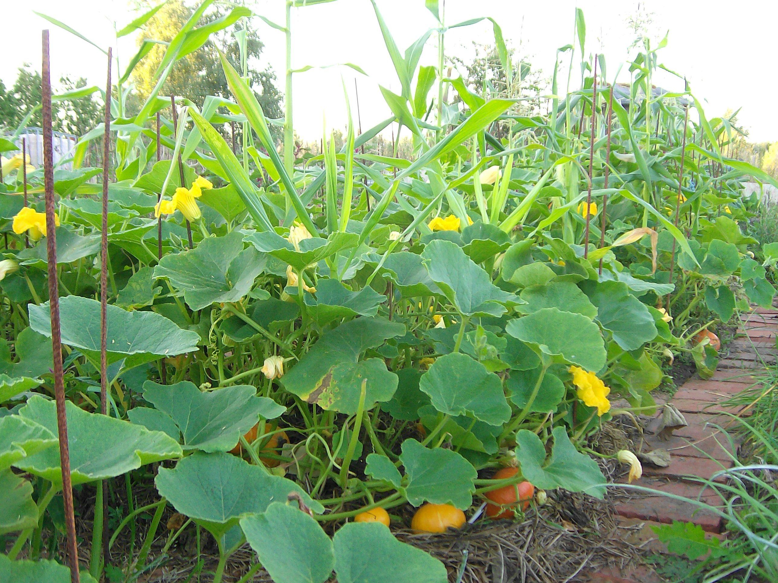 Mais k rbis intercropping allmende e v for Asociacion de plantas en el huerto