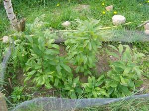 Kastanien-Sämlinge im Vorzucht-Beet
